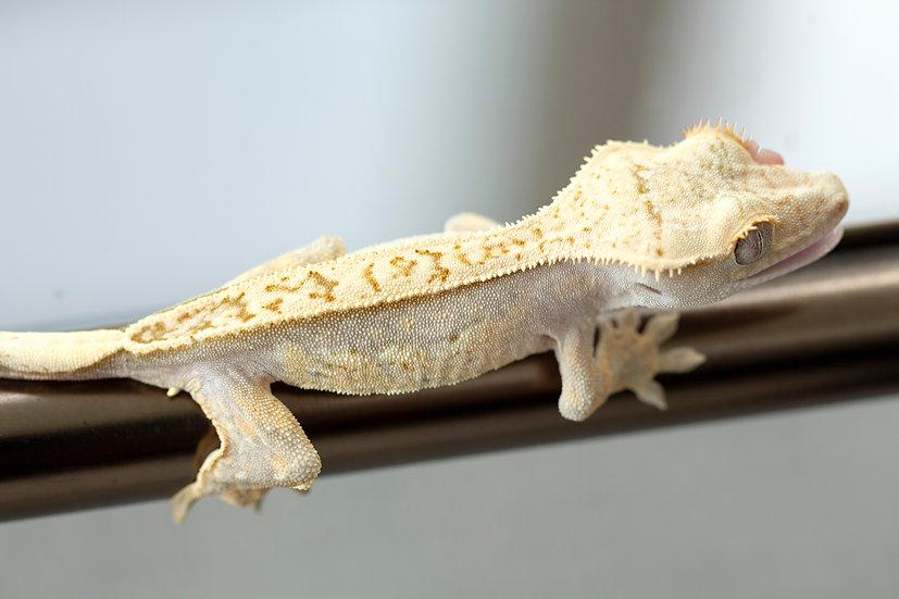 Lavender Quad-Stripe Crested Gecko
