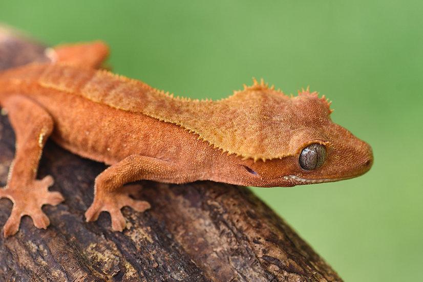 Red Phantom Pinstripe Crested Gecko