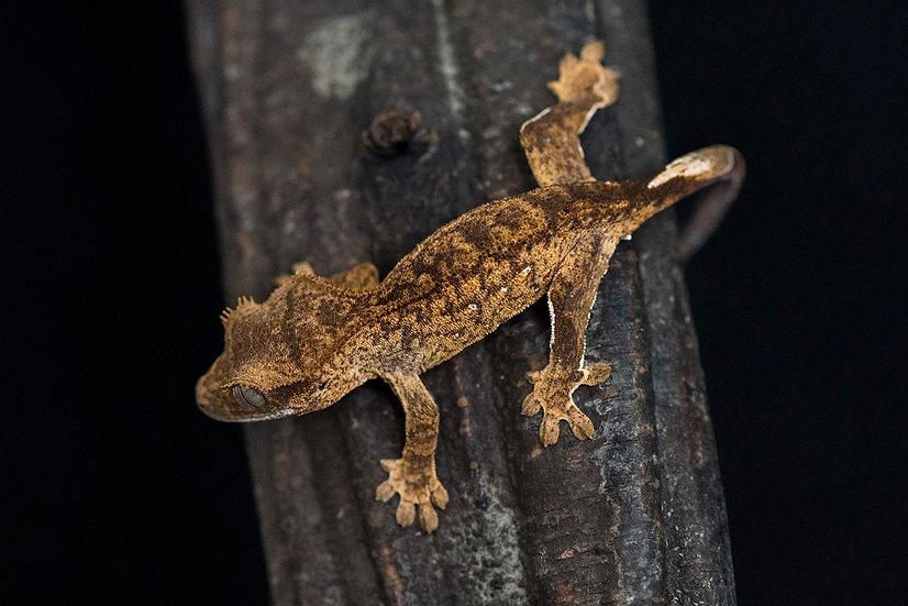 Tiger/Brindle Crested Gecko
