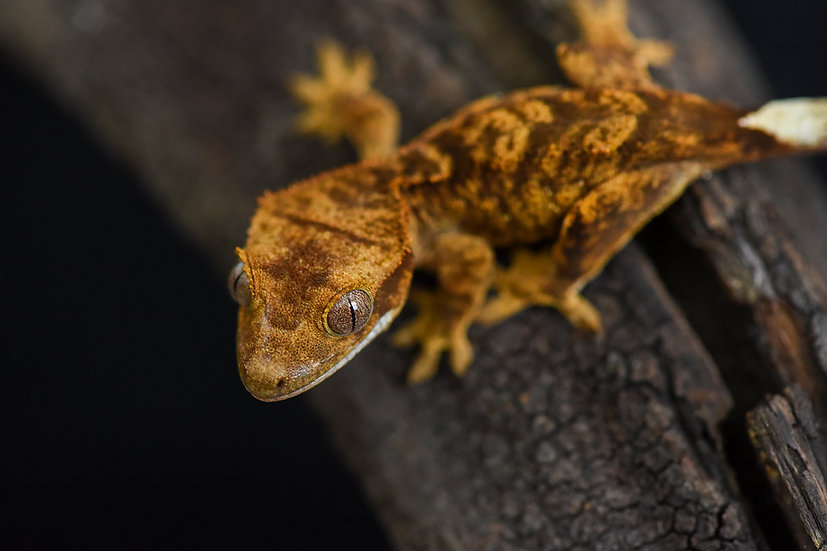 Super Tiger Crested Gecko