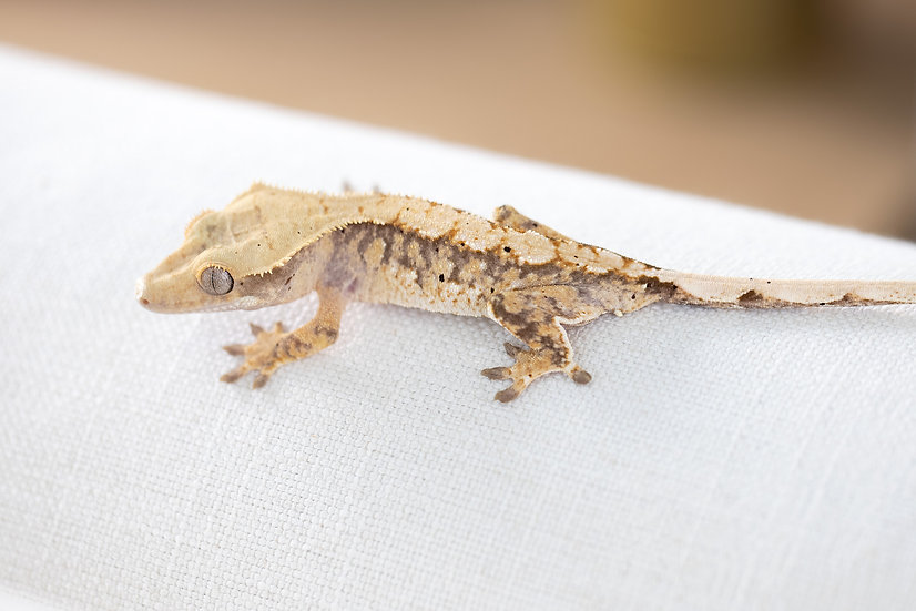 Tri-Color Crested Gecko