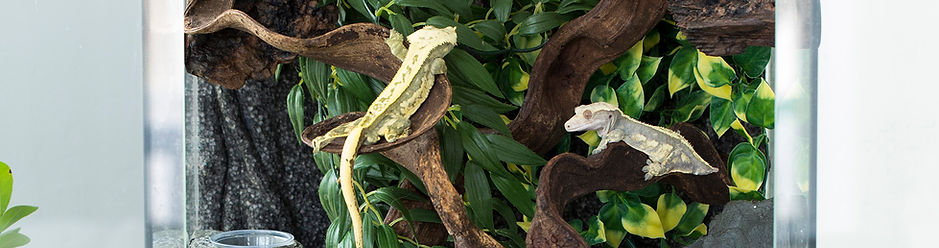 Housin multiple Crested Geckos in the same enclosure