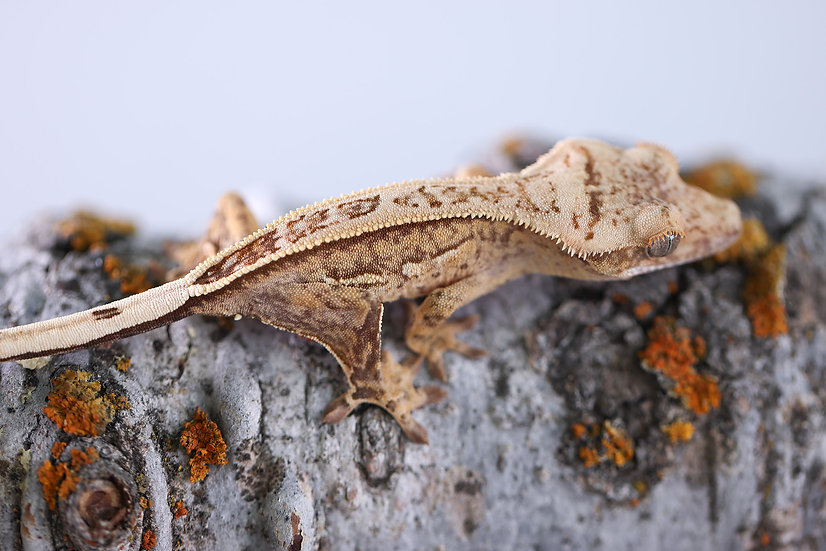 Yellow Pinstripe Crested Gecko