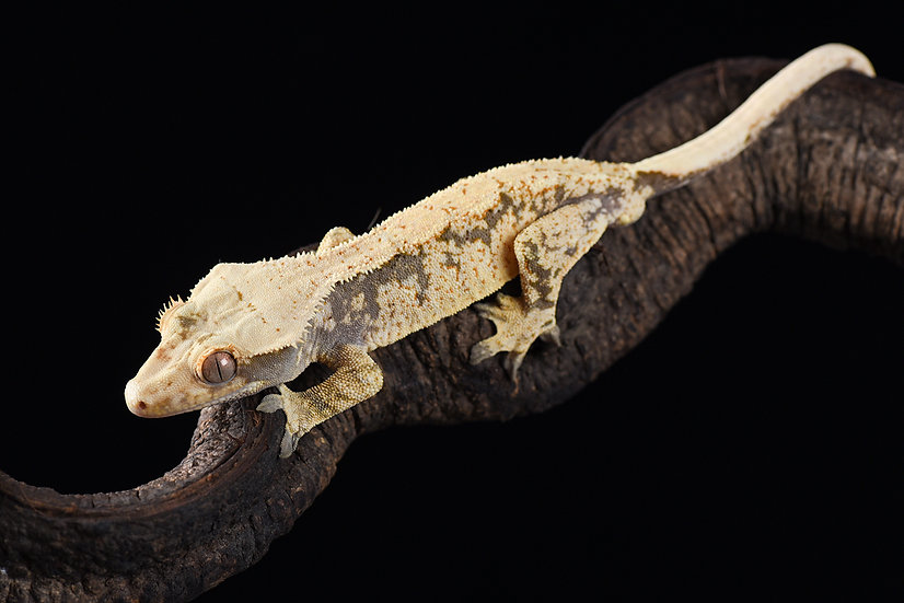 Cream/Extreme Harlequin Crested Gecko