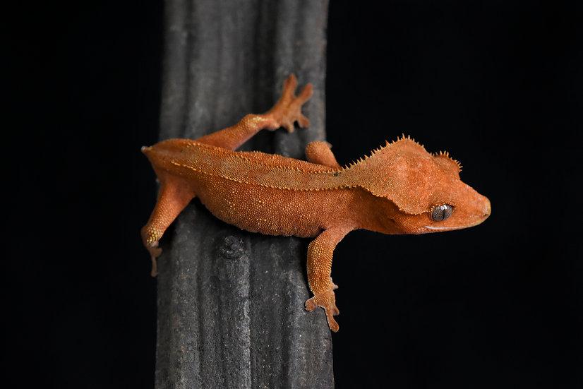 Phantom Pinstripe Crested Gecko