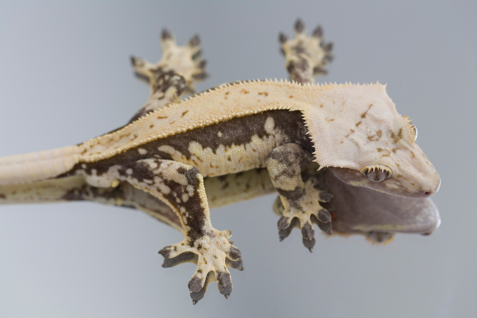 White Wall Pinstripe Crested Gecko