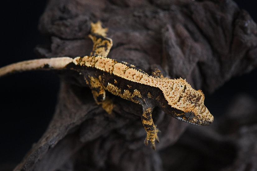 Black & Cream Harlequin Crested Gecko