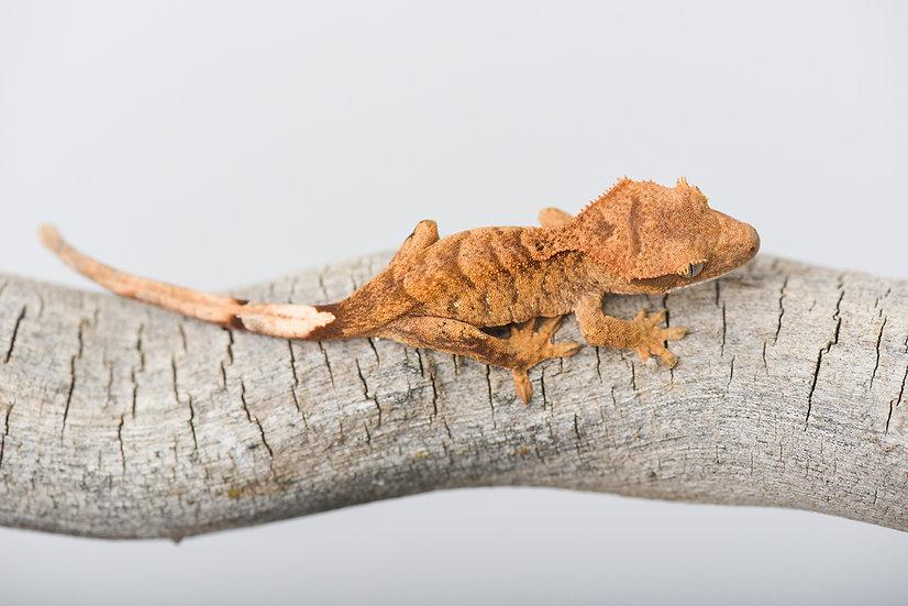 Super Tiger Crested Gecko