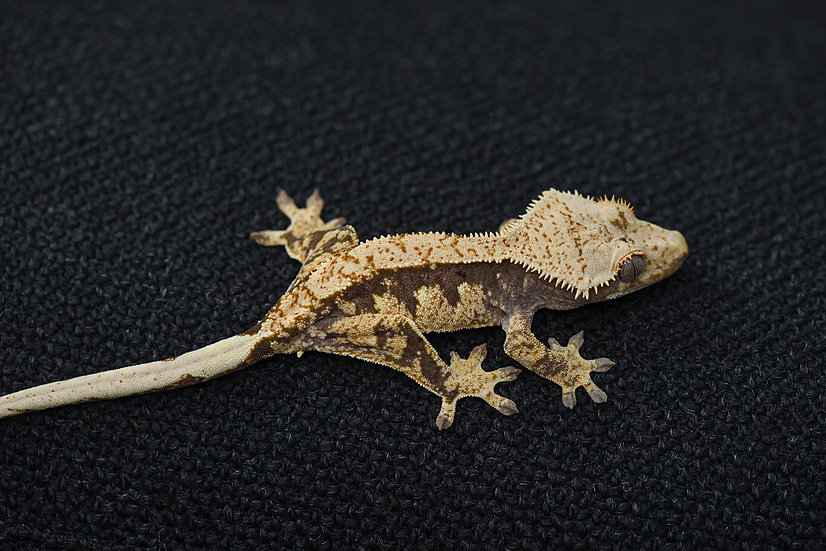 Cream Extreme Harlequin Crested Gecko