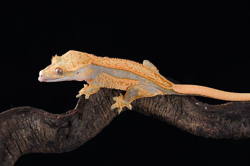 Super Tangerine / Lavender Quad-Stripe Crested Gecko