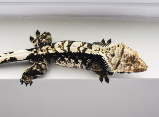 BLACK AND WHITE HARLEQUIN CRESTED GECKO
