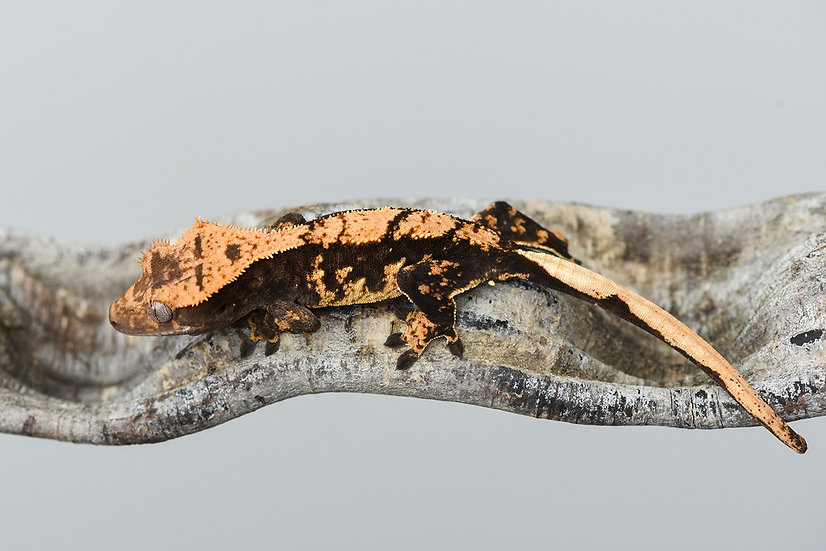 High Contrast Harlequin Crested Gecko