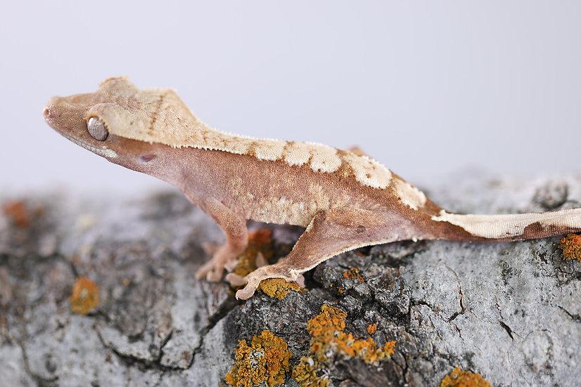 Pink/Red Line Harlequin Crested Gecko