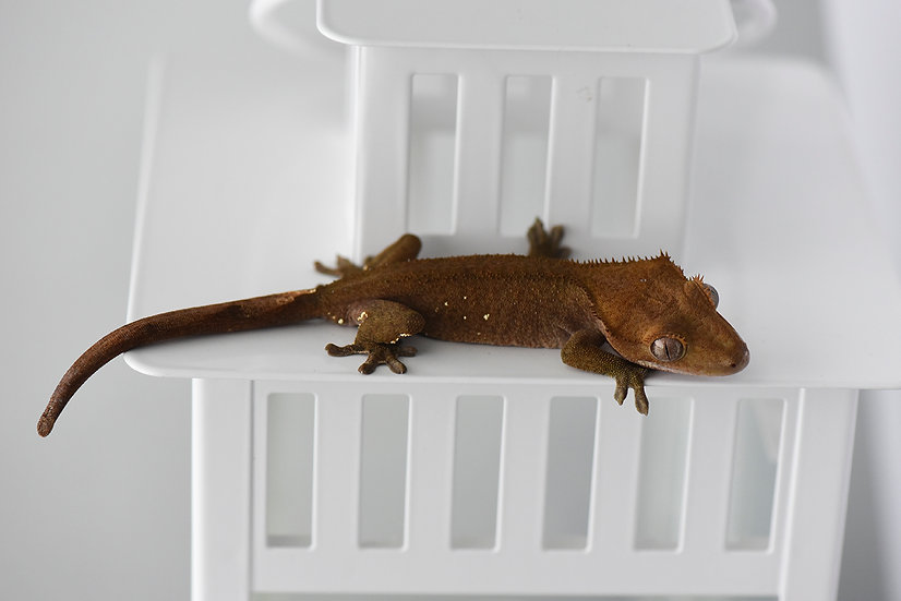 Patternless Crested Gecko