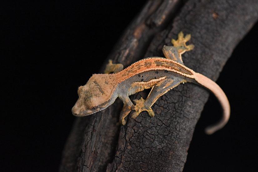 Tangerine / Lavender Quad-Stripe Crested Gecko