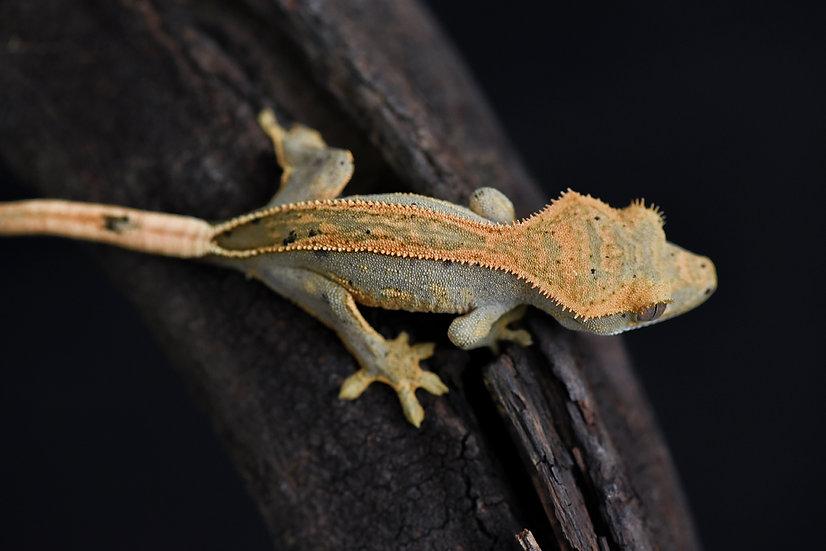 Tangerine Quad Stripe Crested Gecko