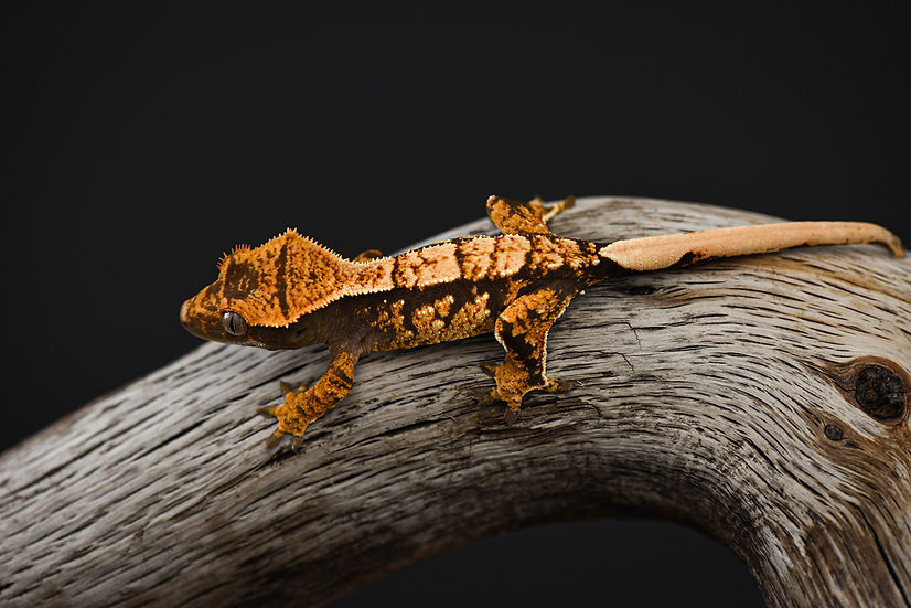 Tri-Color Extreme Harlequin Crested Gecko