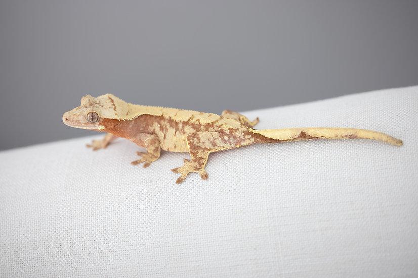 Pink Line Harlequin Crested Gecko
