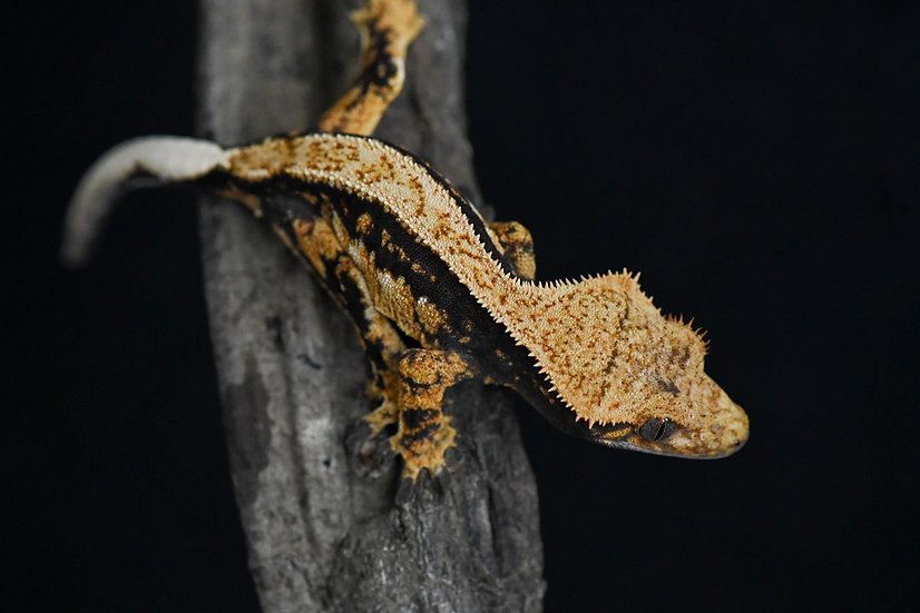 Tri-Color Pinstripe Crested Gecko
