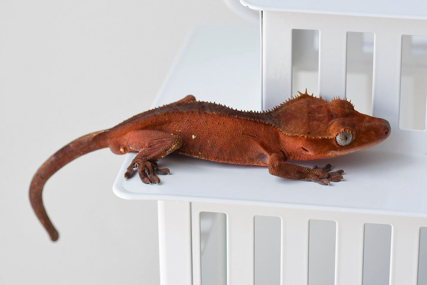 PATTERNLESS DARK RED CRESTED GECKO