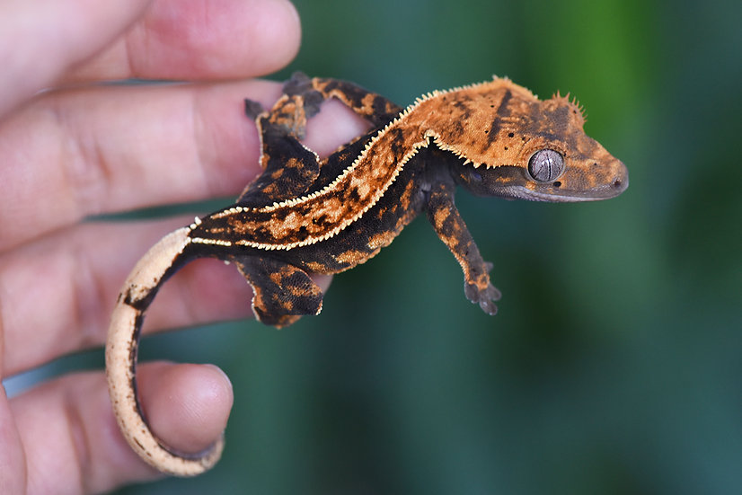 High Contrast Pinstripe Crested Gecko