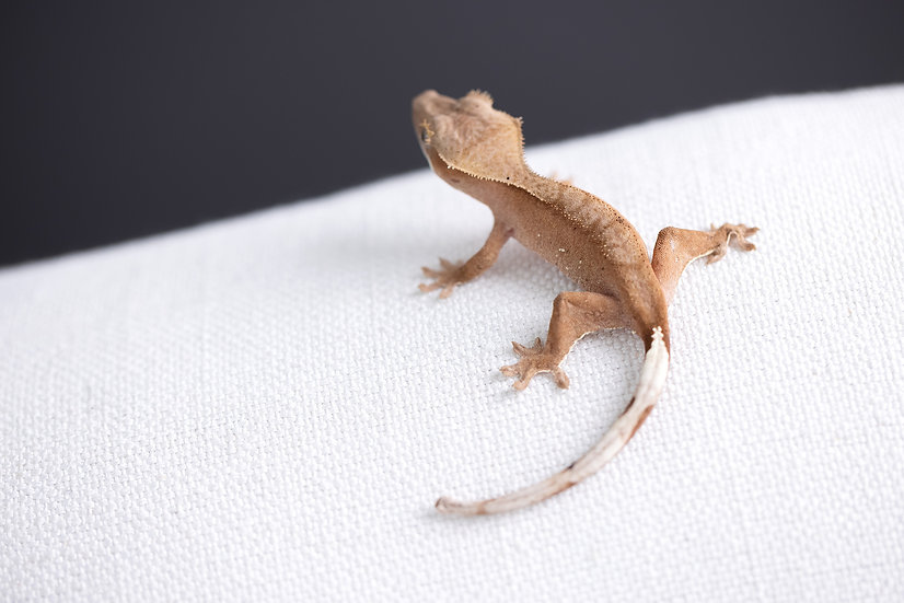 Pink/Red Lines Crested Gecko