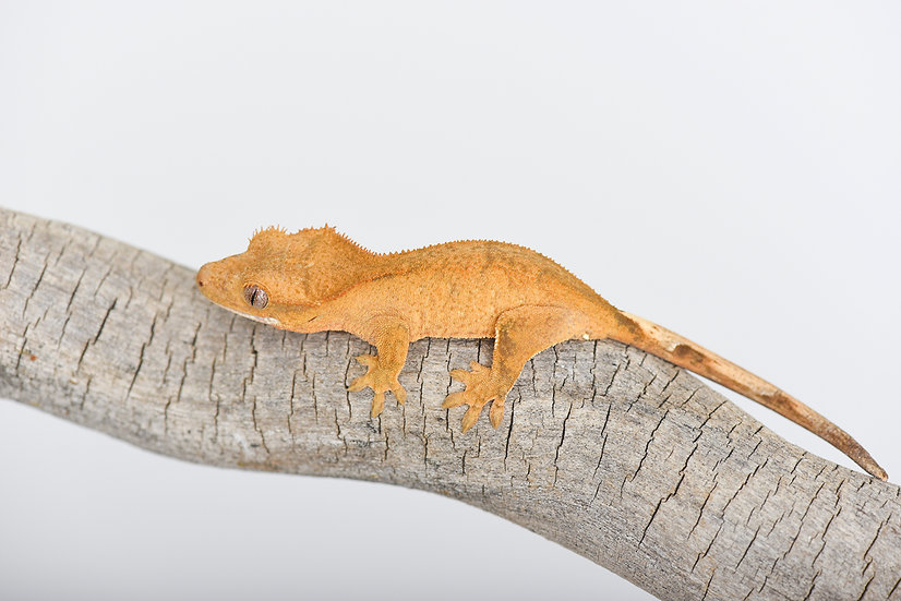 Patternless Yellow Crested Gecko