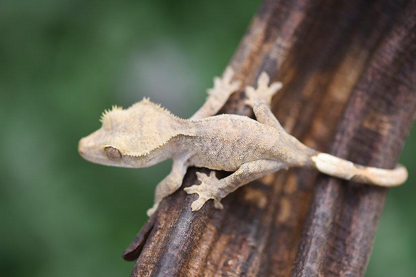 Pale Tiger Crested Gecko