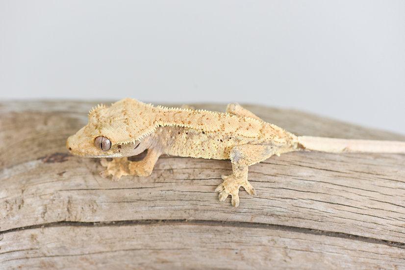 HOLDBACK RELEASE Crested Gecko