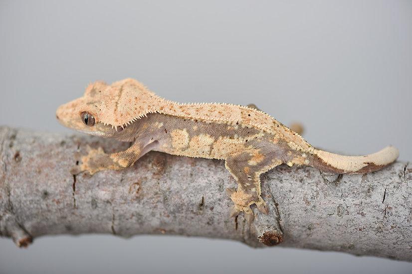 Drippy Dorsal Pinstripe Crested Gecko