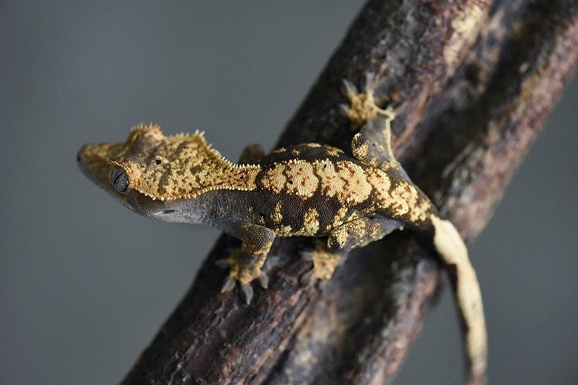High Contrast Harlequin Crested Gecko