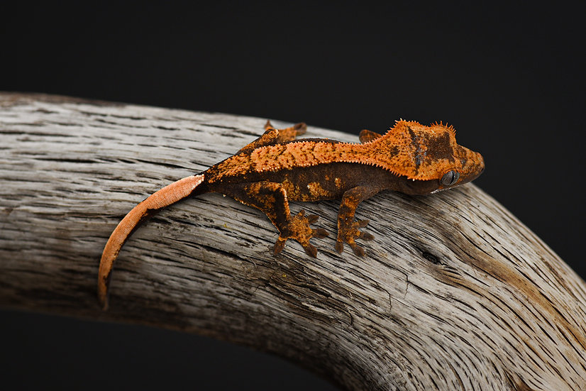 Halloween Harlequin Crested Gecko