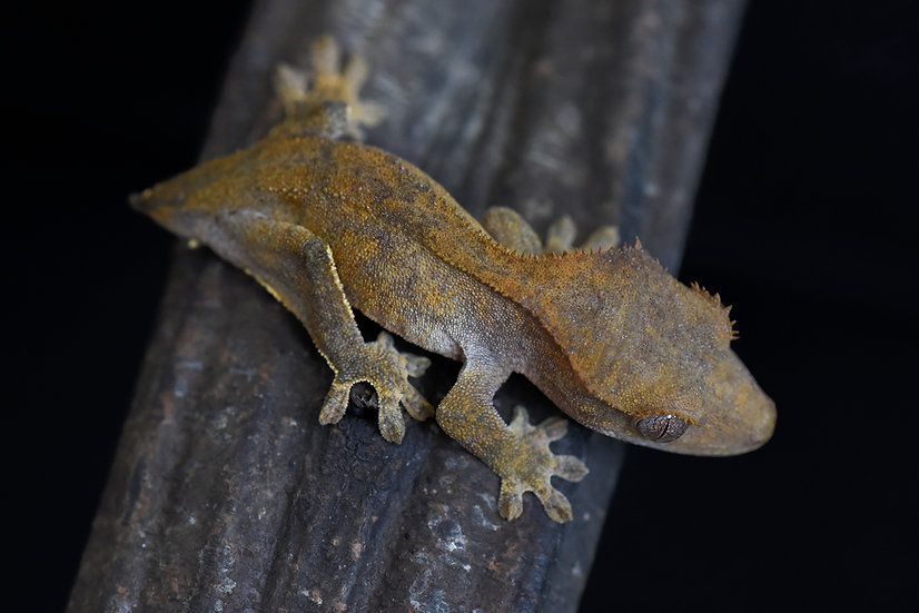 Brindle Tiger Crested Gecko