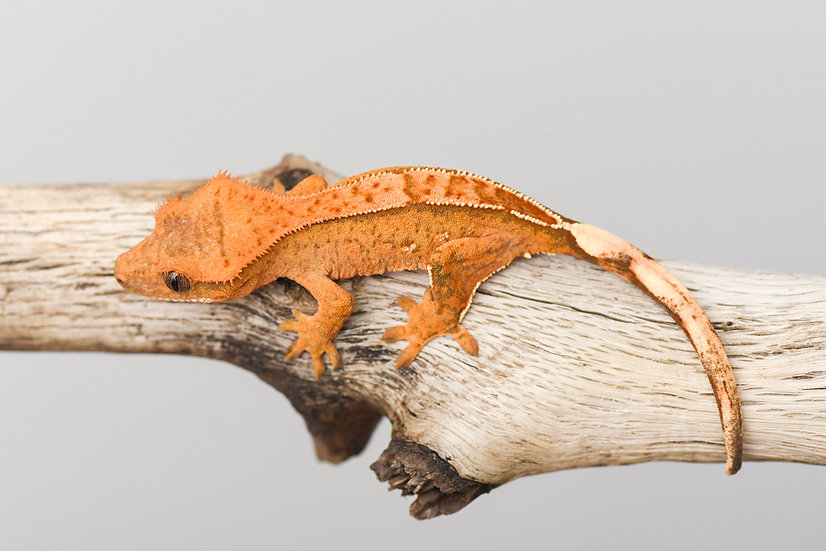 Tangerine Pinstripe Crested Gecko