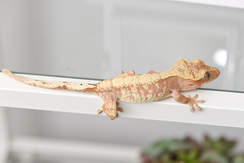 Pink/Peach & Cream Extreme Harlequin Crested Gecko