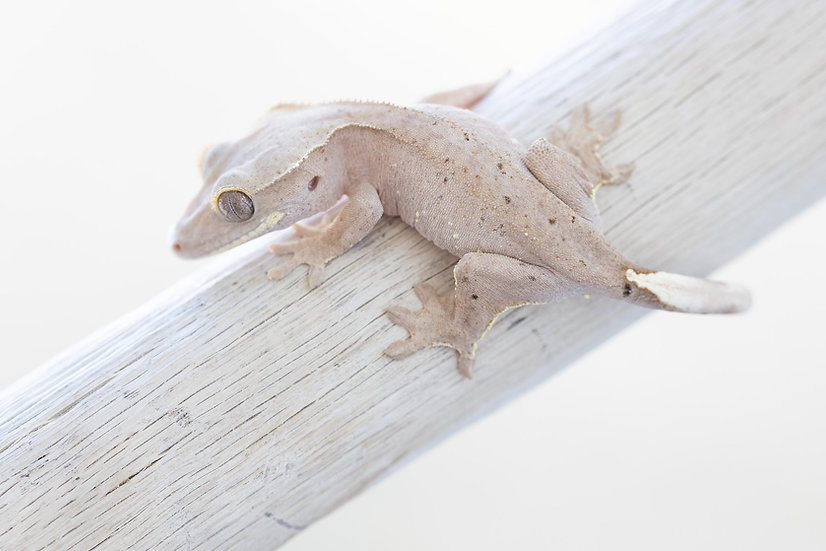 Pink Lines White Portholes Crested Gecko