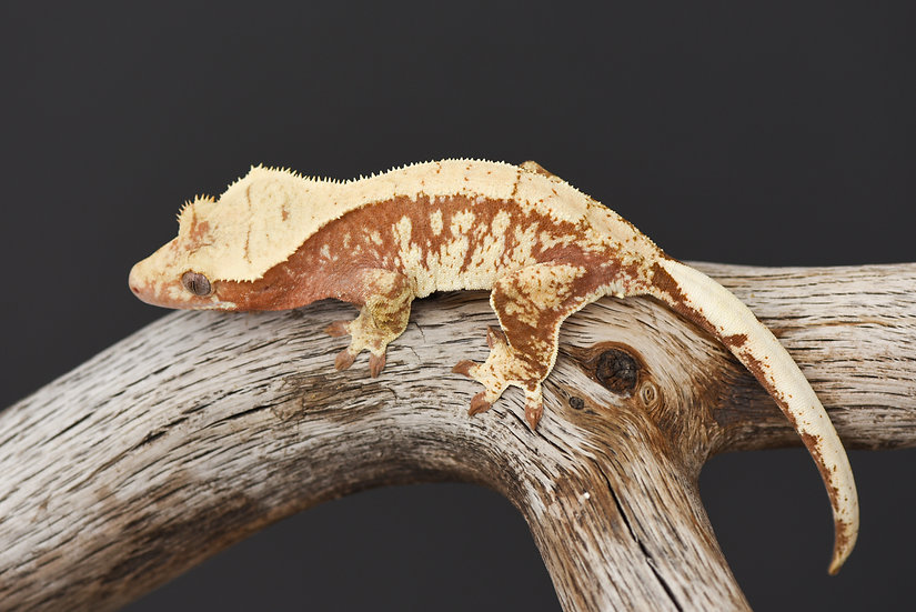 Red & Cream Extreme Harlequin Crested Gecko