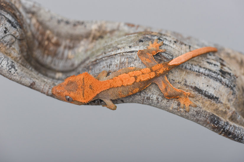 Tangerine Harlequin Crested Gecko
