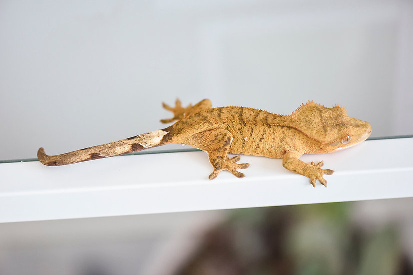 Tiger Crested Gecko