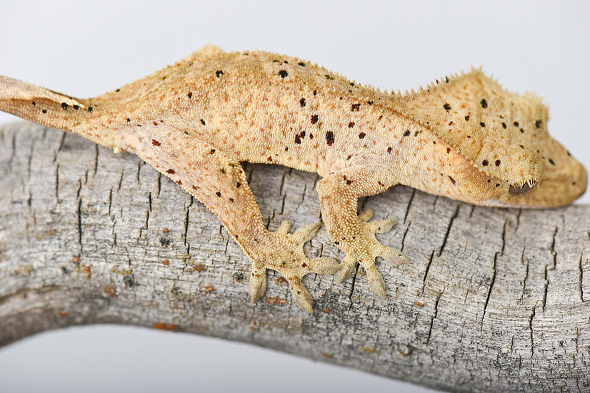 Black and Red Spotted Dalmatian Crested Gecko