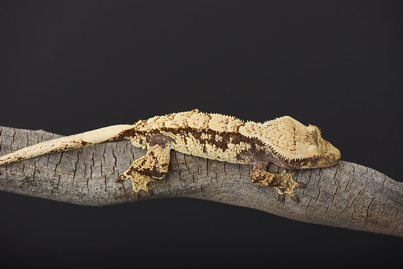 Partial Pinstripe/HarlequinCrested Gecko