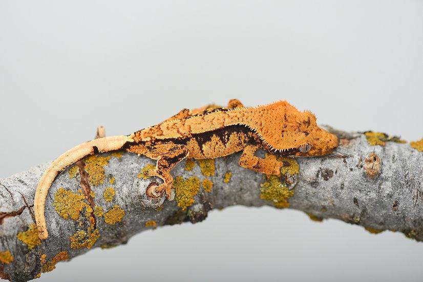 Halloween Extreme Harlequin Crested Gecko