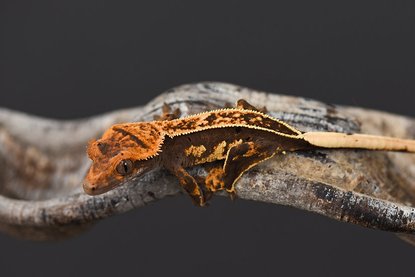 Crowned High Contrast Pinstripe Crested Gecko