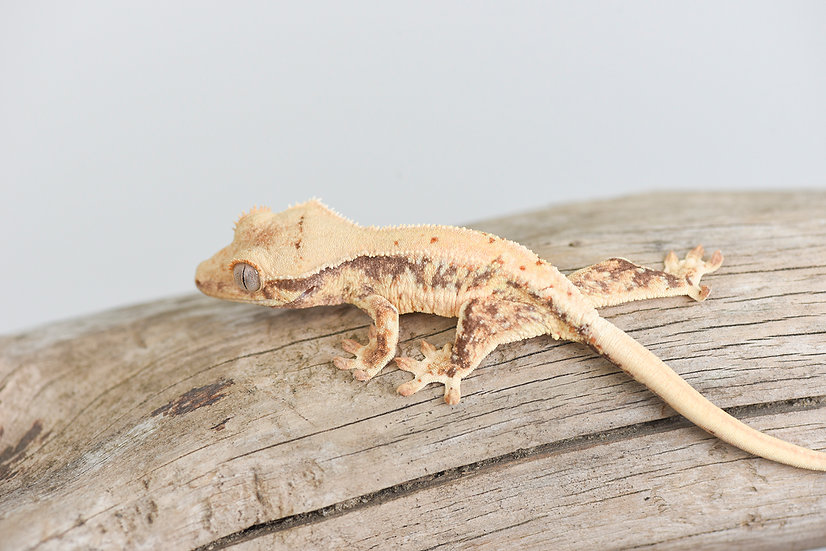 Tri-Color/High Expression Lilly White Crested Gecko
