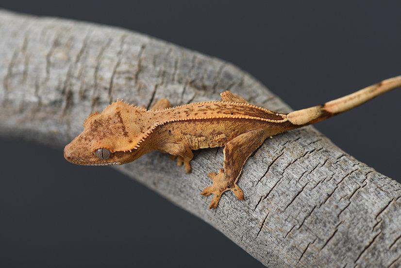 C2 Pinstripe Crested Gecko