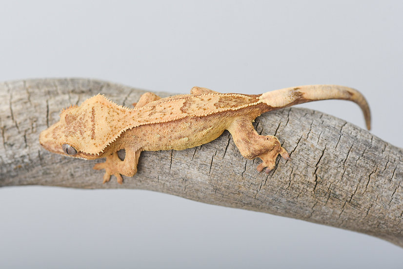 Yellow Phantom Pinstripe Crested Gecko