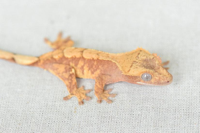 Red Extreme Harlequin Crested Gecko
