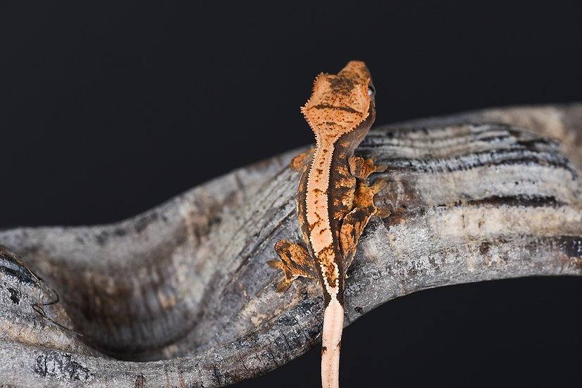 High-Contrast Pinstripe Crested Gecko