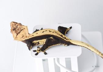 Quad-Stripe Crested Gecko