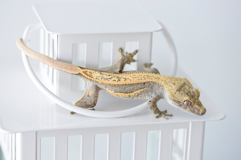 Tangerine/Lavender Quad-Stripe Crested Gecko